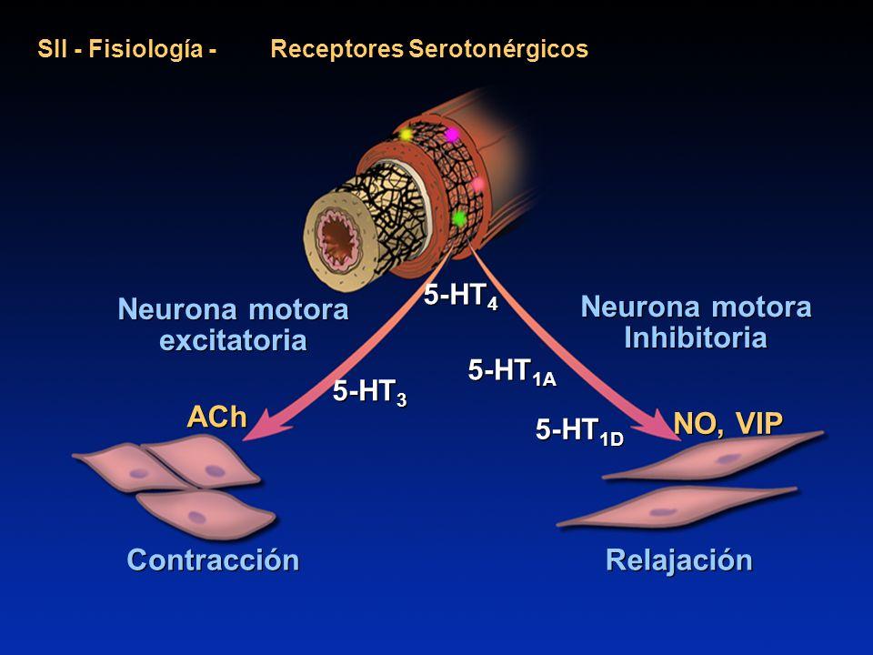 Neurona motora excitatoria