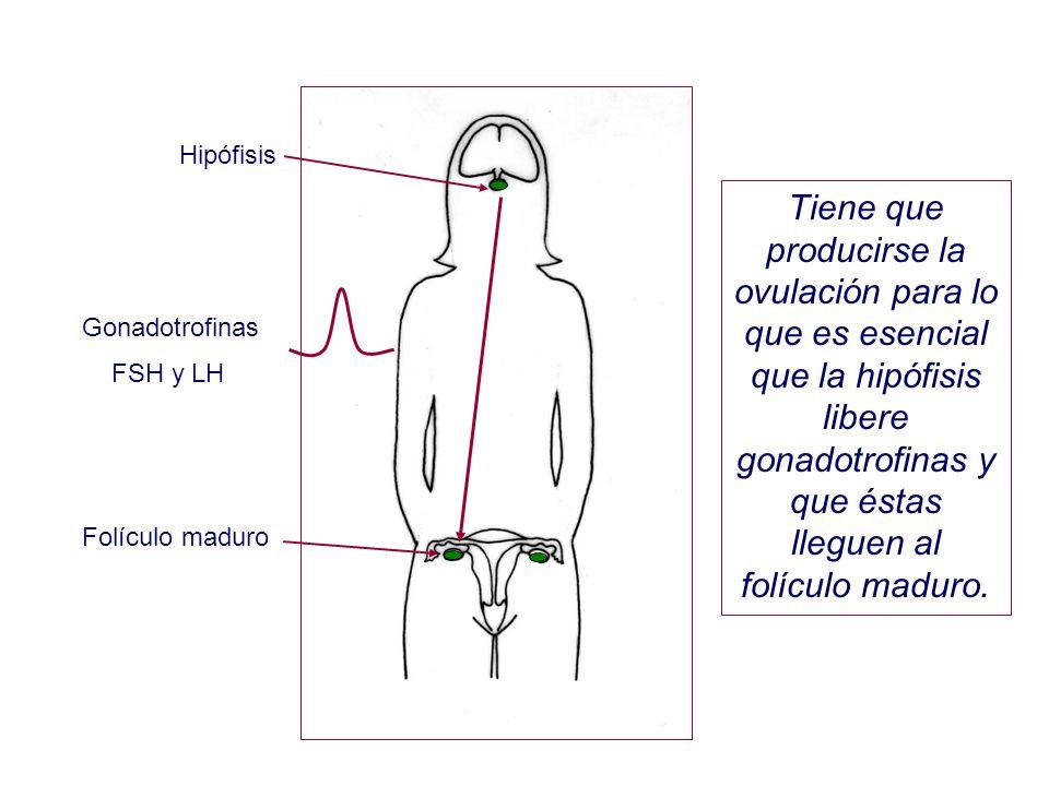 Hipófisis Tiene que producirse la ovulación para lo que es esencial que la hipófisis libere gonadotrofinas y que éstas lleguen al folículo maduro.