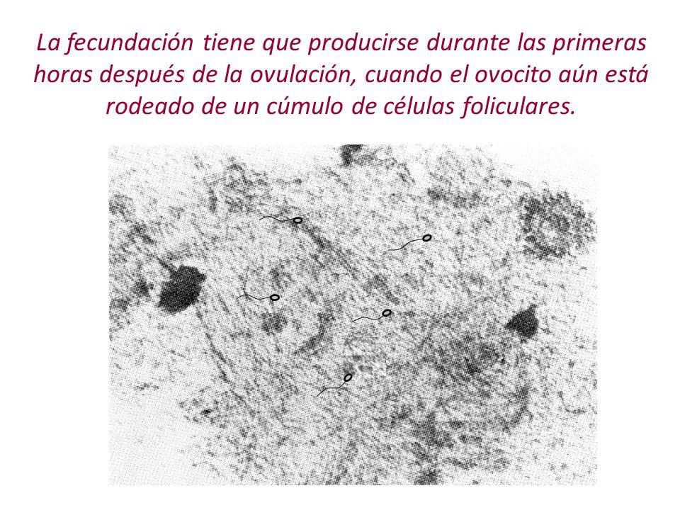 La fecundación tiene que producirse durante las primeras horas después de la ovulación, cuando el ovocito aún está rodeado de un cúmulo de células foliculares.