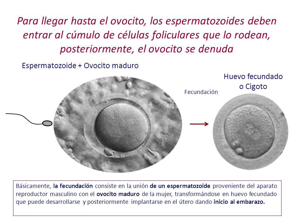 Para llegar hasta el ovocito, los espermatozoides deben entrar al cúmulo de células foliculares que lo rodean, posteriormente, el ovocito se denuda