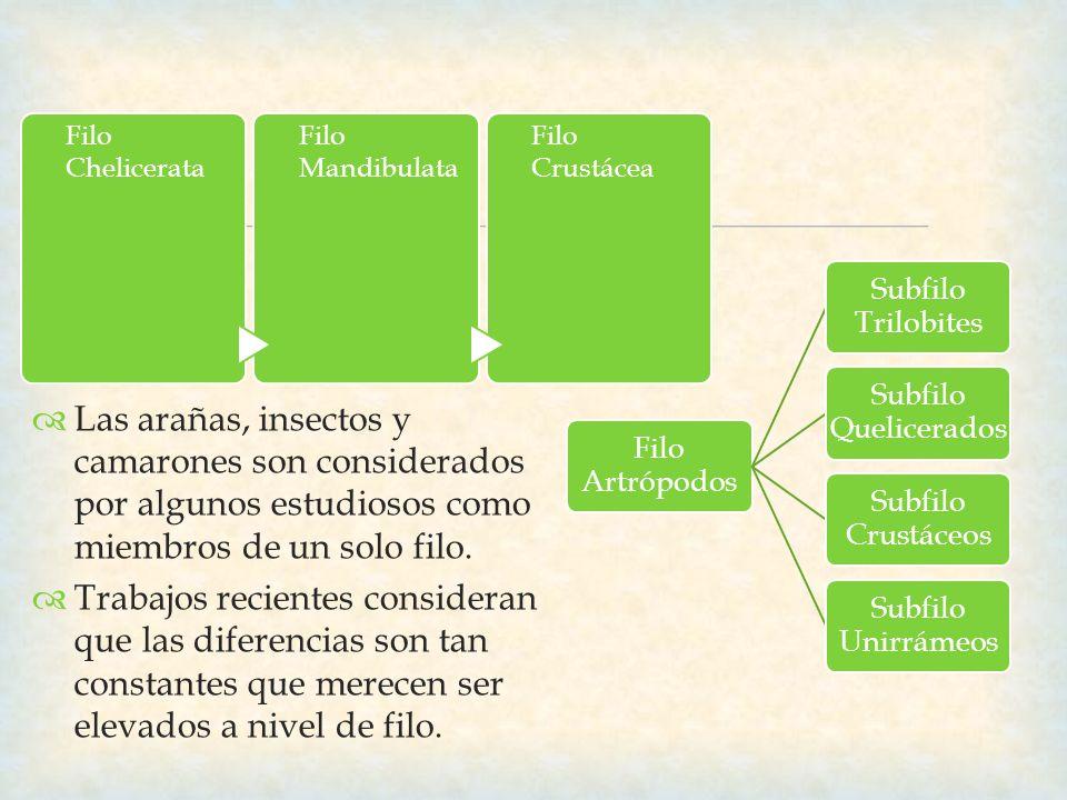 Filo Chelicerata Filo Mandibulata. Filo Crustácea. Filo Artrópodos. Subfilo Trilobites. Subfilo Quelicerados.