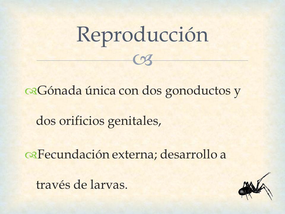 Reproducción Gónada única con dos gonoductos y dos orificios genitales, Fecundación externa; desarrollo a través de larvas.