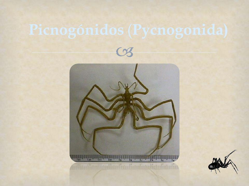 Picnogónidos (Pycnogonida)
