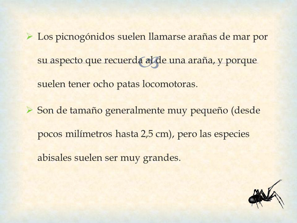 Los picnogónidos suelen llamarse arañas de mar por su aspecto que recuerda al de una araña, y porque suelen tener ocho patas locomotoras.