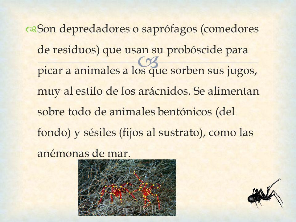 Son depredadores o saprófagos (comedores de residuos) que usan su probóscide para picar a animales a los que sorben sus jugos, muy al estilo de los arácnidos.