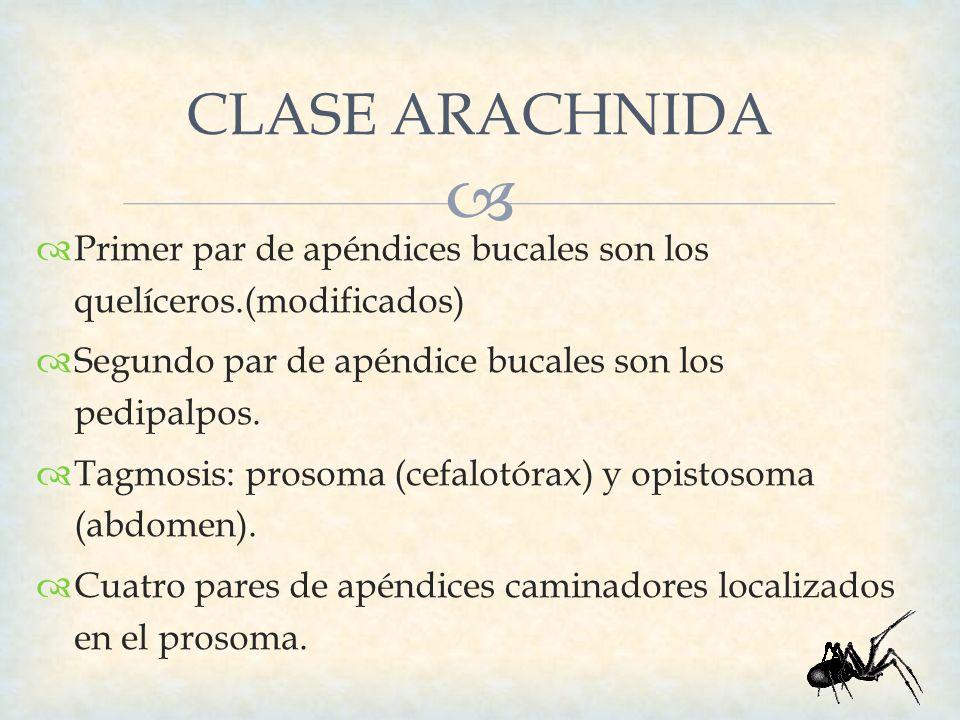 CLASE ARACHNIDA Primer par de apéndices bucales son los quelíceros.(modificados) Segundo par de apéndice bucales son los pedipalpos.