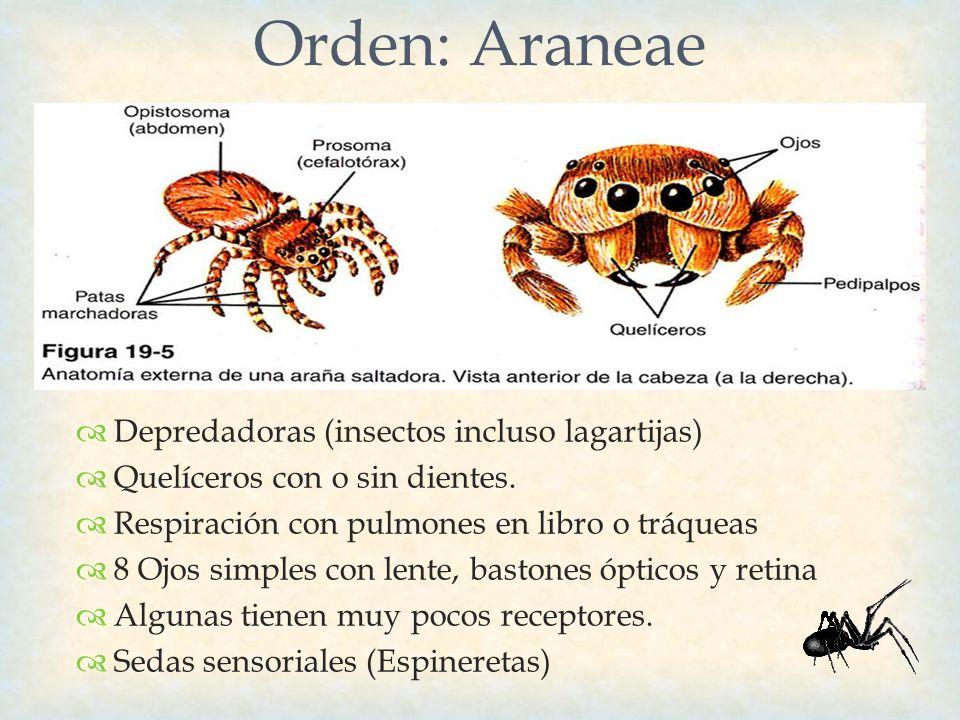Orden: Araneae Depredadoras (insectos incluso lagartijas)