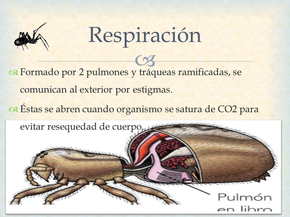 Respiración Formado por 2 pulmones y tráqueas ramificadas, se comunican al exterior por estigmas.