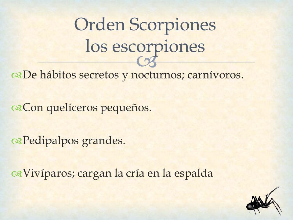 Orden Scorpiones los escorpiones