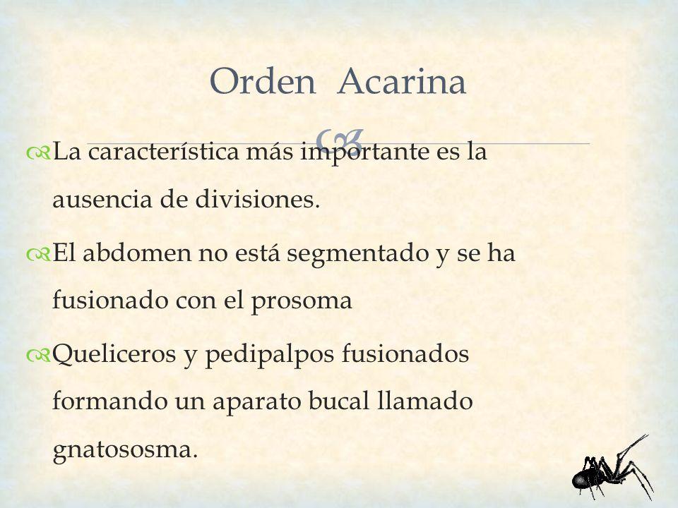 Orden Acarina La característica más importante es la ausencia de divisiones. El abdomen no está segmentado y se ha fusionado con el prosoma.