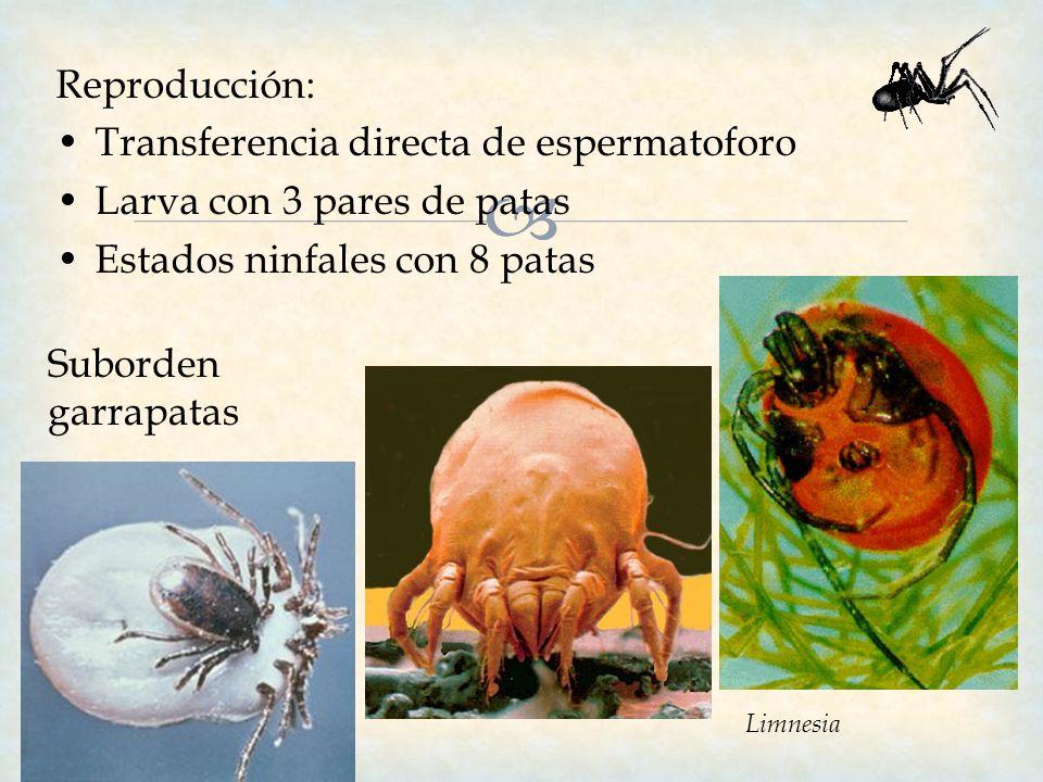 Transferencia directa de espermatoforo Larva con 3 pares de patas