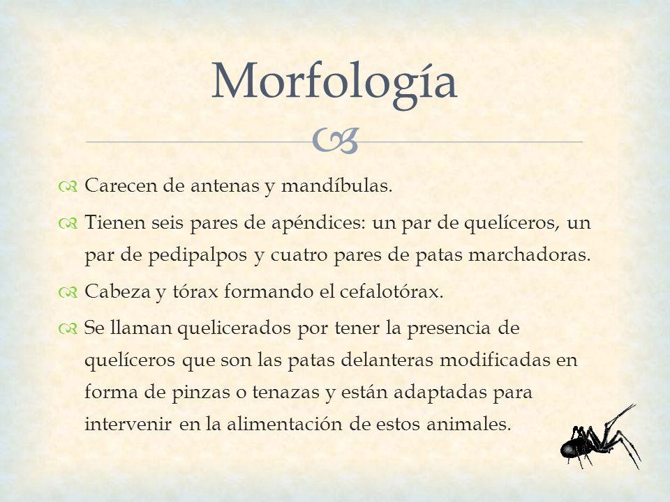 Morfología Carecen de antenas y mandíbulas.