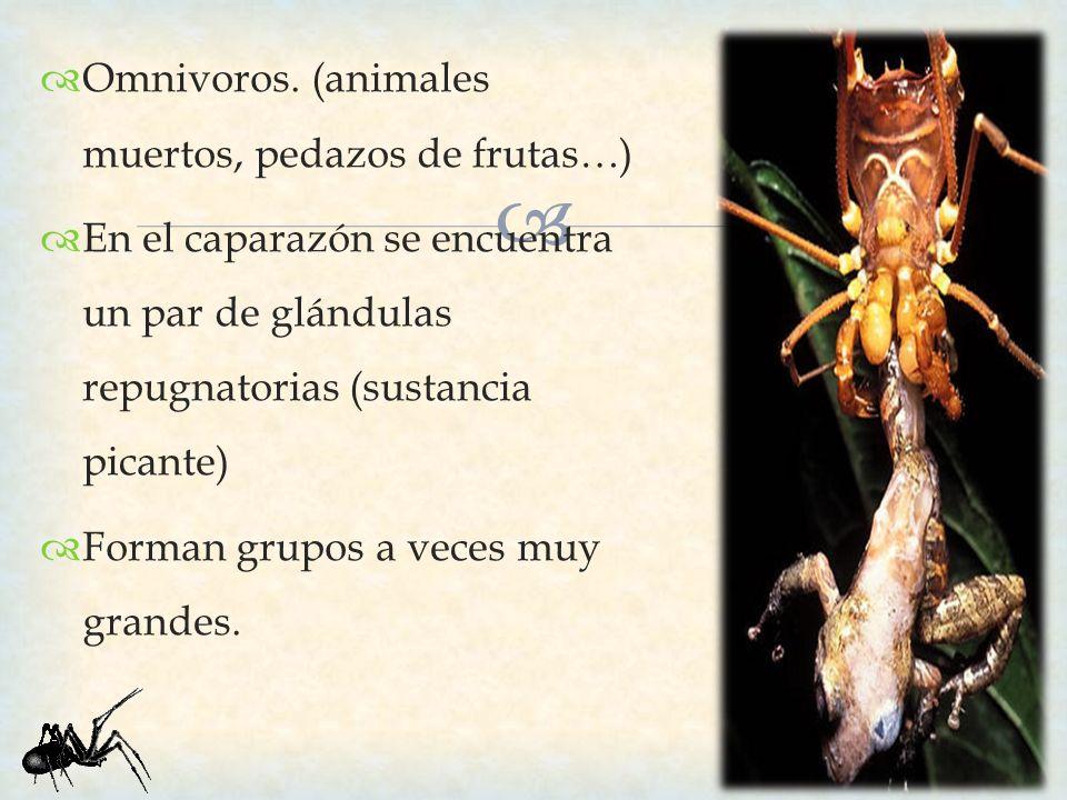 Omnivoros. (animales muertos, pedazos de frutas…)