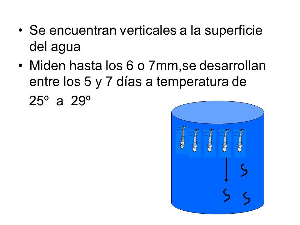 Se encuentran verticales a la superficie del agua