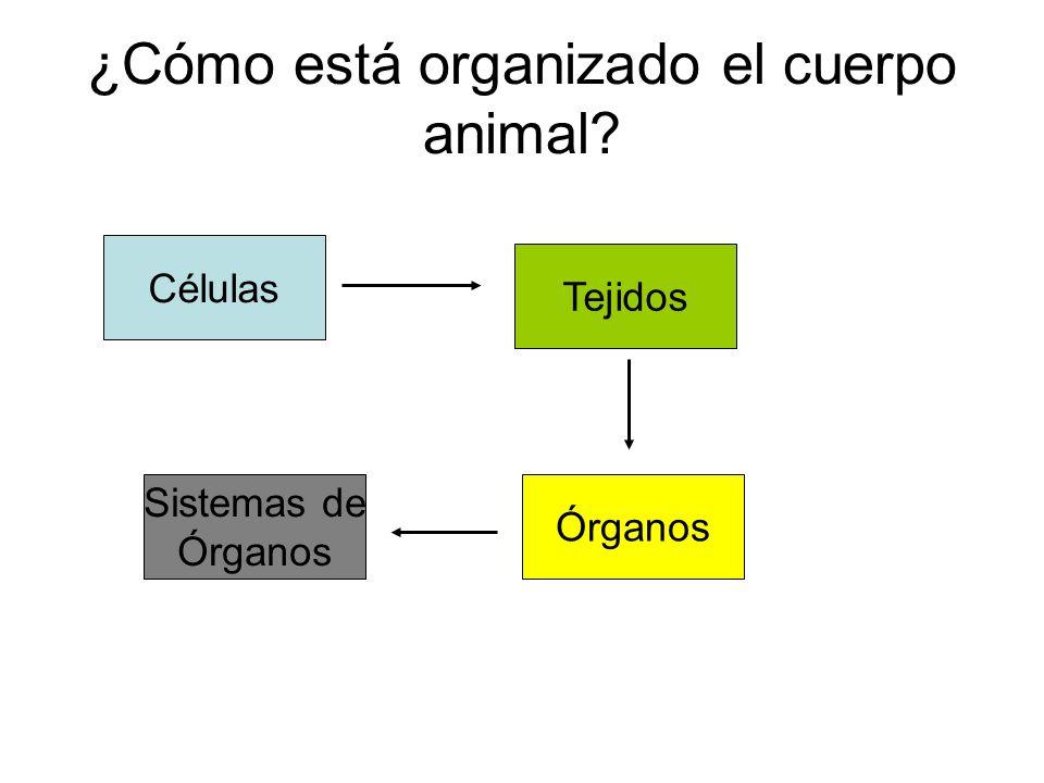 ¿Cómo está organizado el cuerpo animal