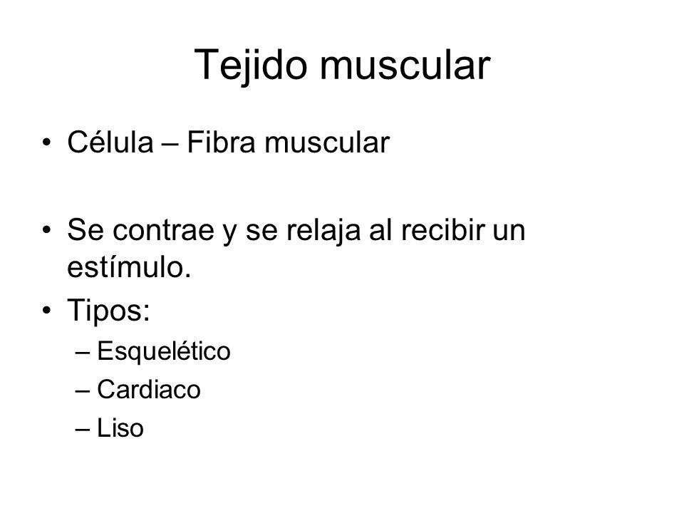 Tejido muscular Célula – Fibra muscular