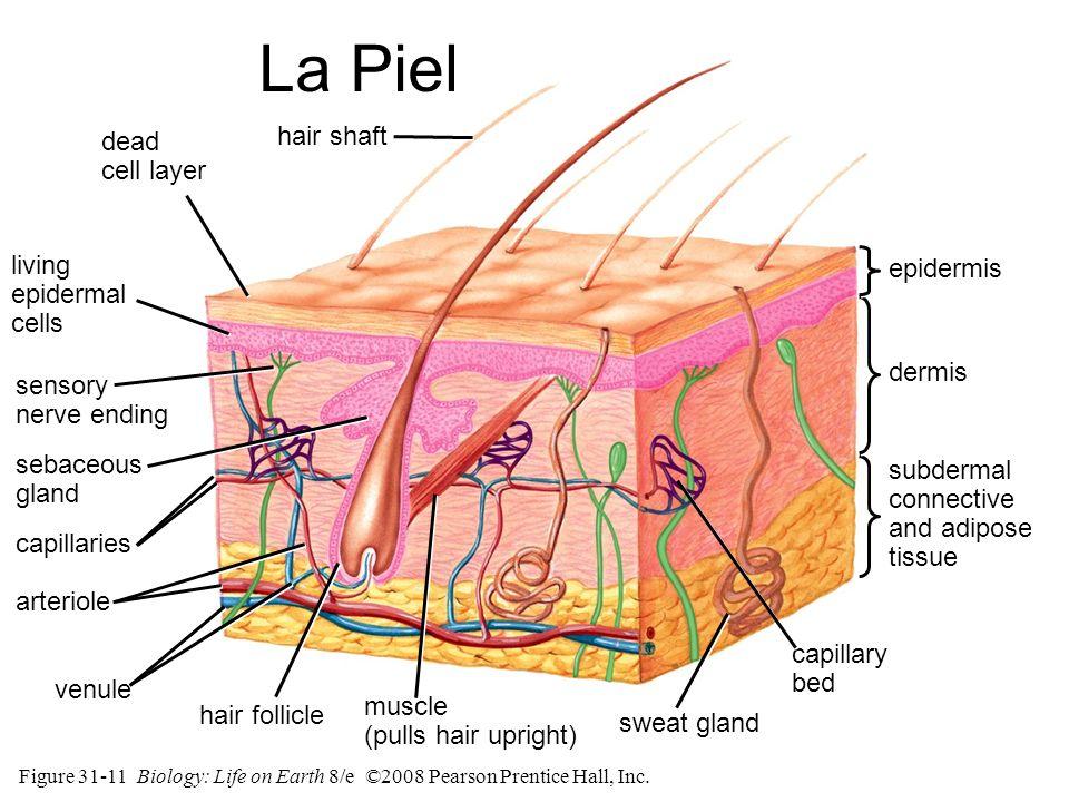 La Piel hair shaft dead cell layer living epidermal cells epidermis