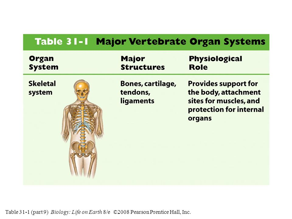Table 31-1 (part 9) Major Vertebrate Organ Systems