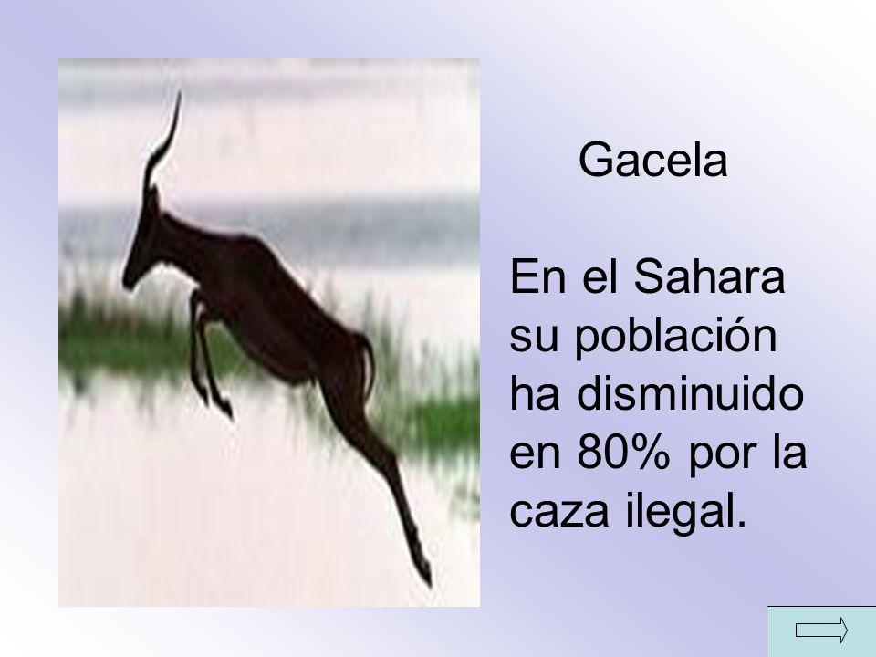 Gacela En el Sahara su población ha disminuido en 80% por la caza ilegal.