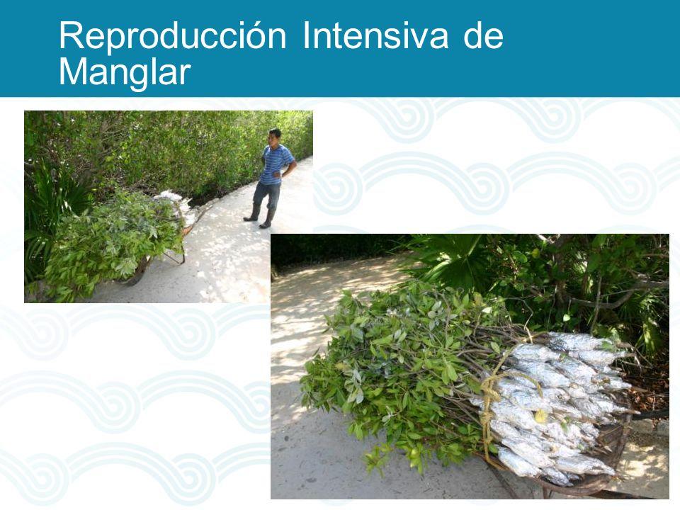 Reproducción Intensiva de Manglar