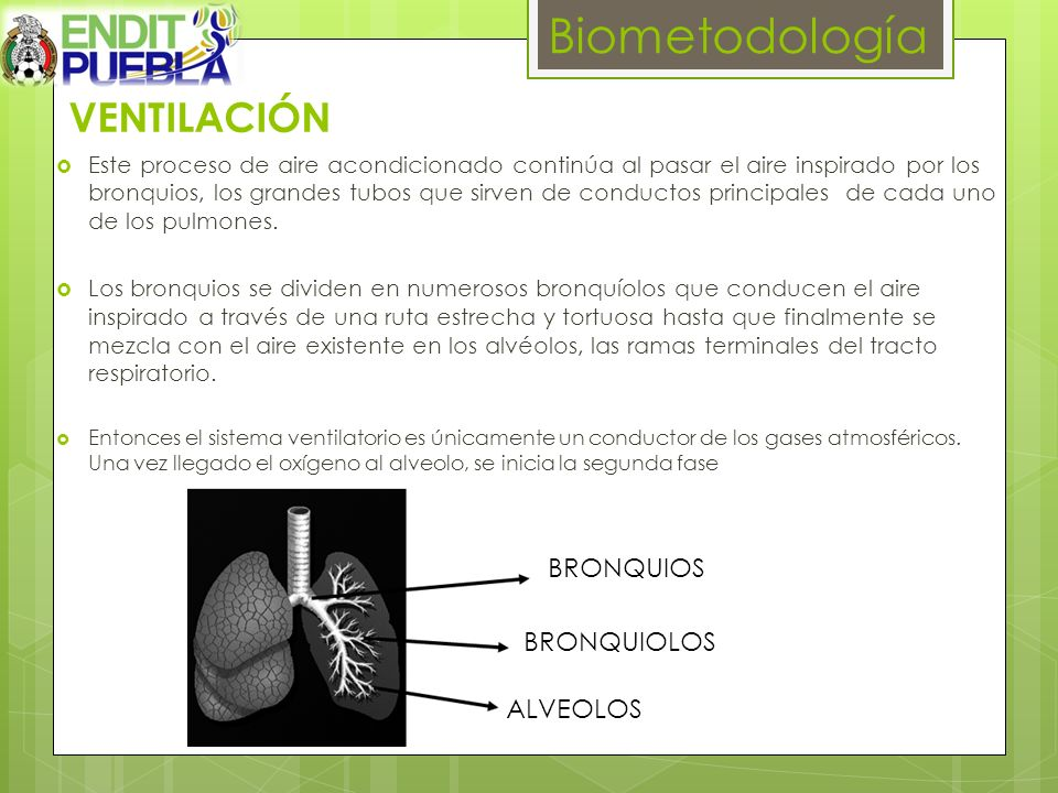 Biometodología VENTILACIÓN BRONQUIOS BRONQUIOLOS ALVEOLOS