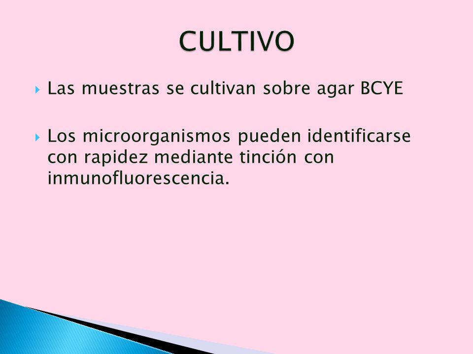 CULTIVO Las muestras se cultivan sobre agar BCYE