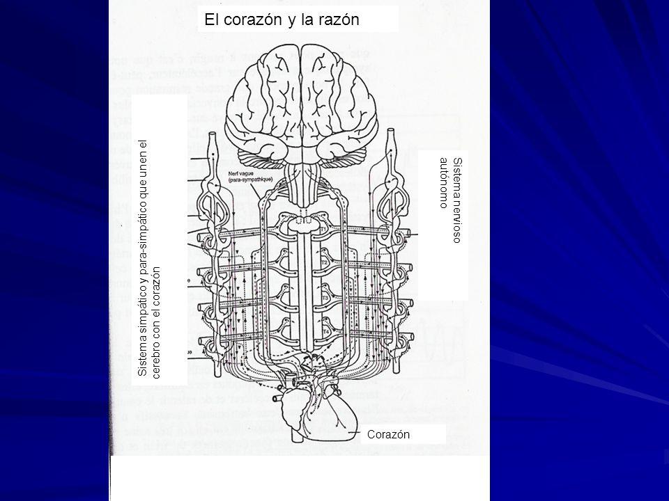 El corazón y la razón Sistema nervioso autónomo Corazón