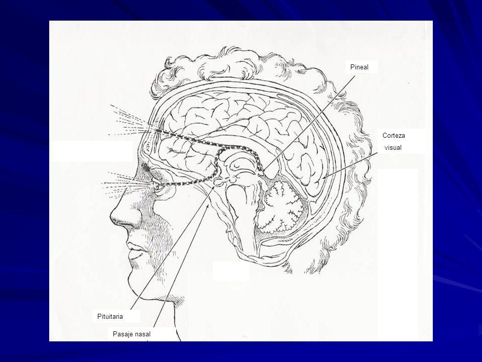 Pineal Corteza visual Recorrido de la visión interna o tercer ojo Pituitaria Pasaje nasal