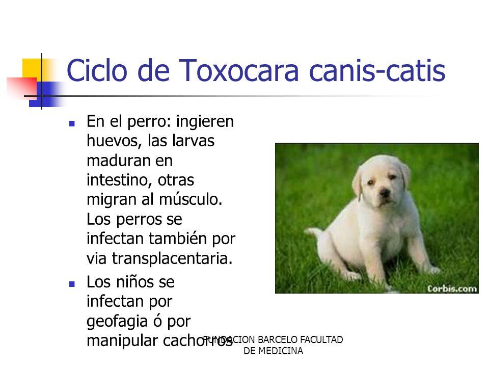 Ciclo de Toxocara canis-catis