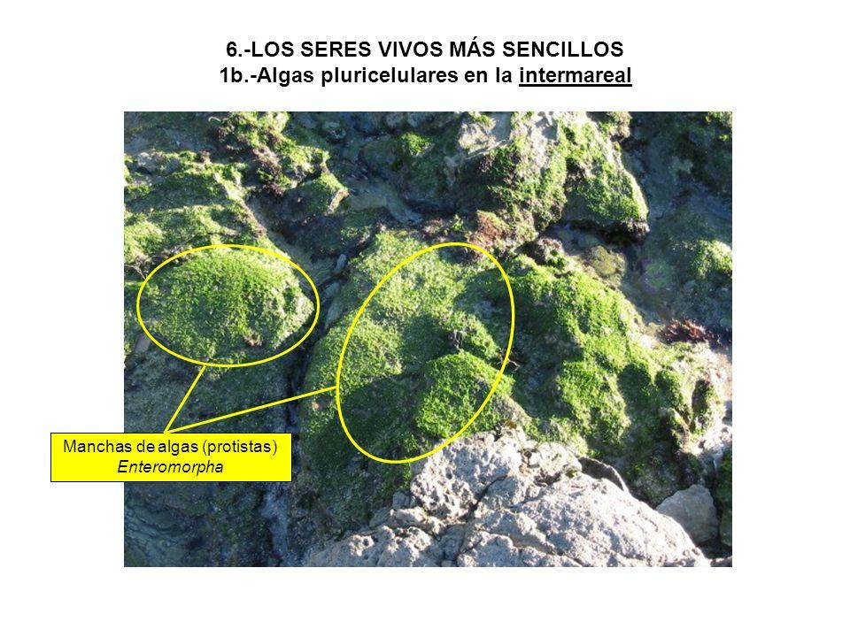 Manchas de algas (protistas) Enteromorpha