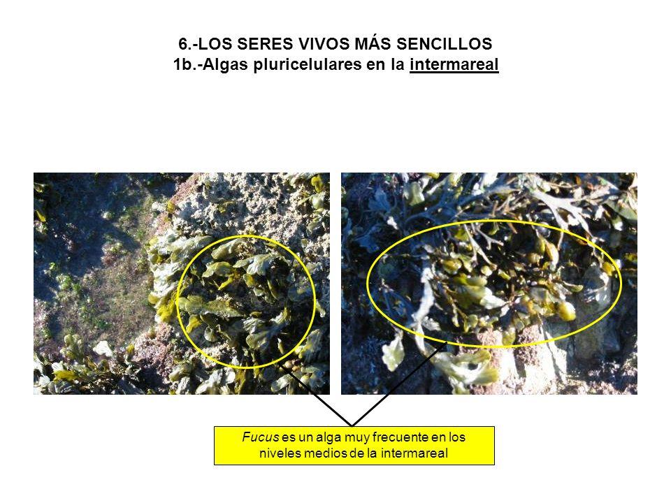 Fucus es un alga muy frecuente en los niveles medios de la intermareal