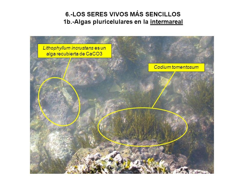 Lithophyllum incrustans es un alga recubierta de CaCO3