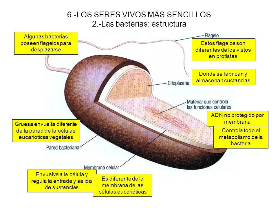 6.-LOS SERES VIVOS MÁS SENCILLOS 2.-Las bacterias: estructura