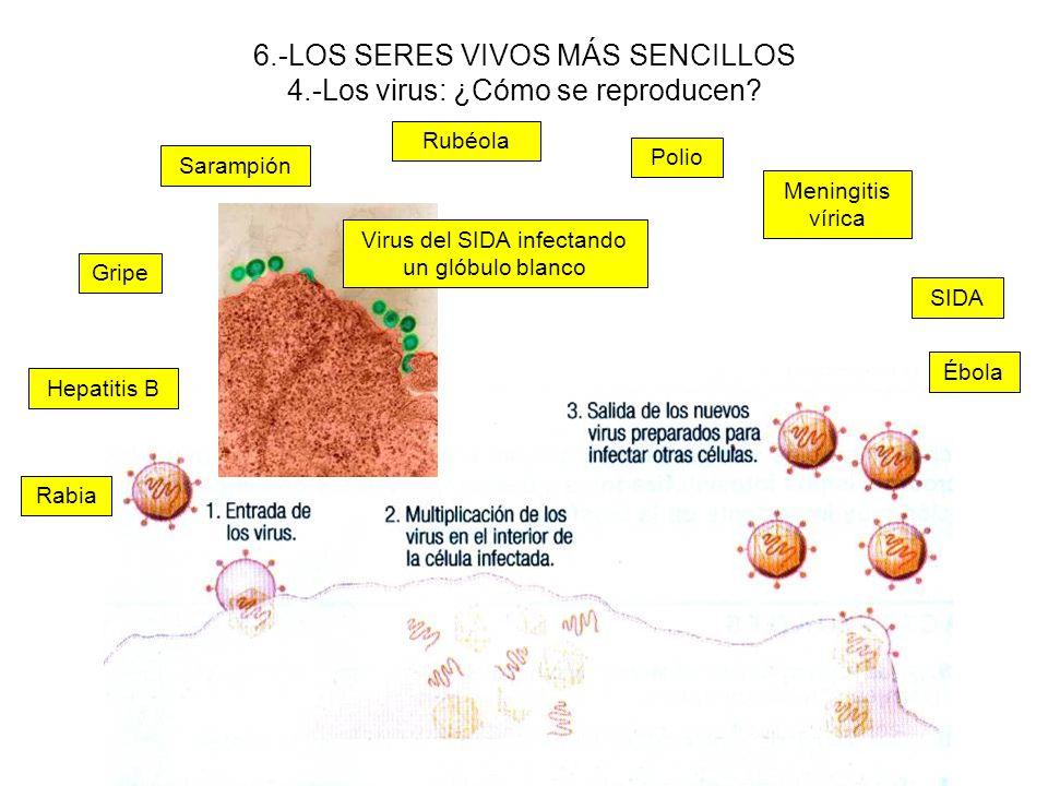 6.-LOS SERES VIVOS MÁS SENCILLOS 4.-Los virus: ¿Cómo se reproducen
