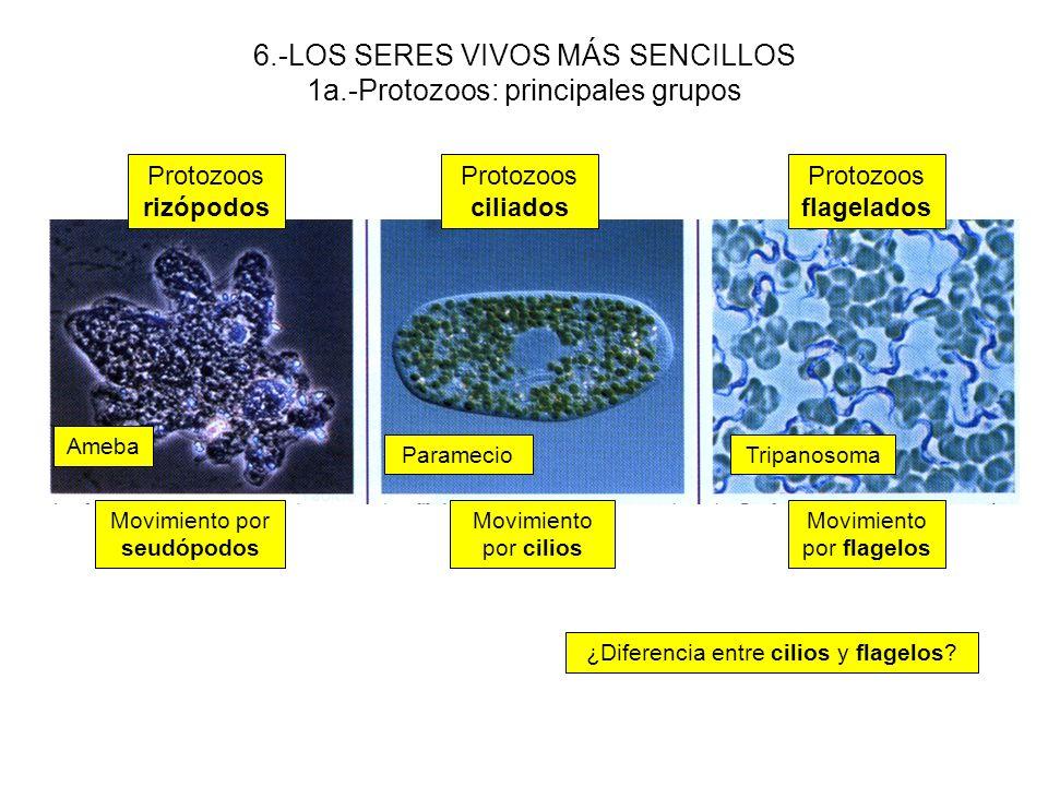 6.-LOS SERES VIVOS MÁS SENCILLOS 1a.-Protozoos: principales grupos
