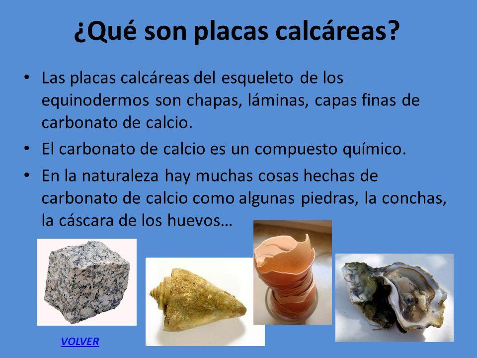 Los equinodermos c mo son los equinodermos 2 ppt for Como cocinar conchas finas