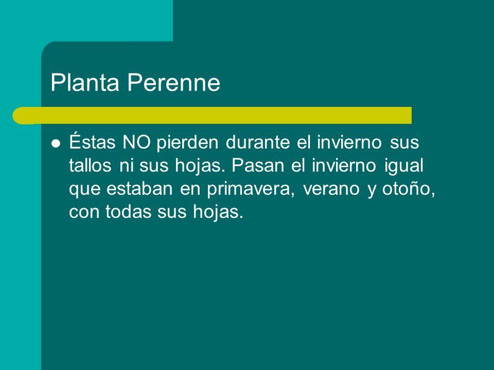 Planta Perenne