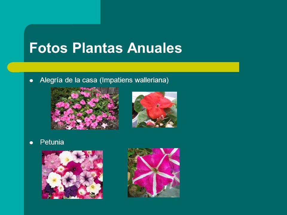Fotos Plantas Anuales Alegría de la casa (Impatiens walleriana)