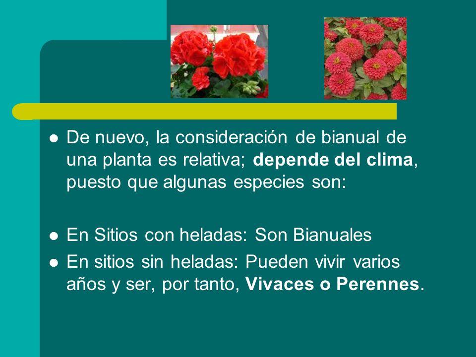 De nuevo, la consideración de bianual de una planta es relativa; depende del clima, puesto que algunas especies son: