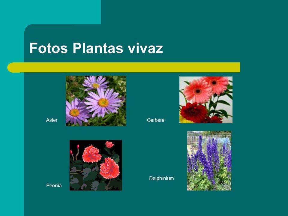 Fotos Plantas vivaz Aster Gerbera Delphinium Peonía