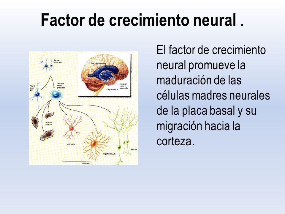 Factor de crecimiento neural .