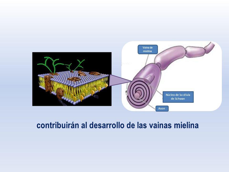 Núcleo de la célula de Schwan