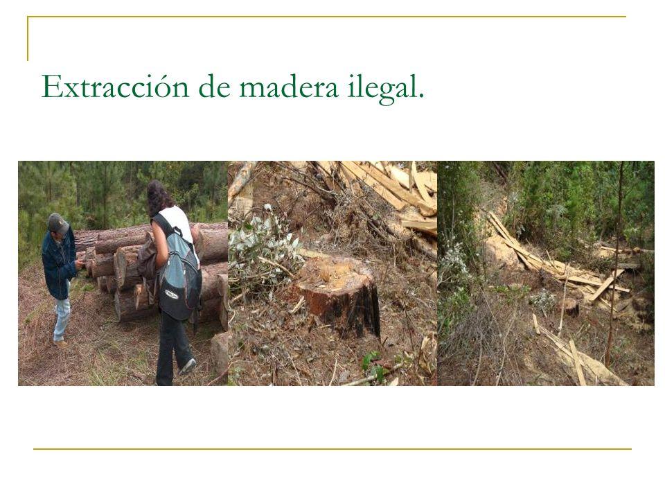 Extracción de madera ilegal.