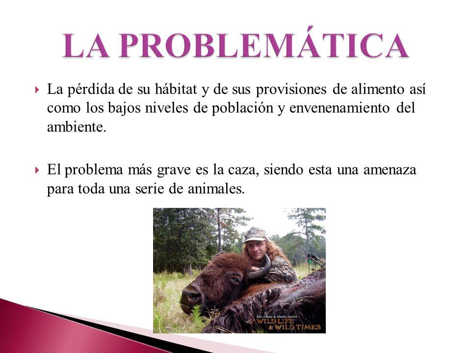 LA PROBLEMÁTICA La pérdida de su hábitat y de sus provisiones de alimento así como los bajos niveles de población y envenenamiento del ambiente.