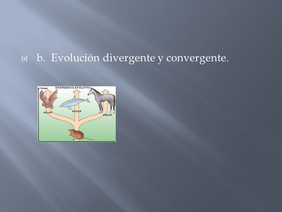 b. Evolución divergente y convergente.