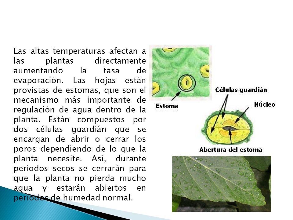 Las altas temperaturas afectan a las plantas directamente aumentando la tasa de evaporación. Las hojas están provistas de estomas, que son el mecanismo más importante de regulación de agua dentro de la planta. Están compuestos por dos células guardián que se encargan de abrir o cerrar los poros dependiendo de lo que la planta necesite. Así, durante periodos secos se cerrarán para que la planta no pierda mucho agua y estarán abiertos en periodos de humedad normal.