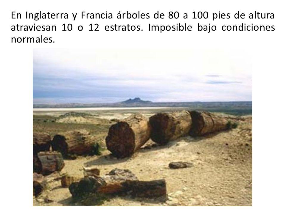 En Inglaterra y Francia árboles de 80 a 100 pies de altura atraviesan 10 o 12 estratos.