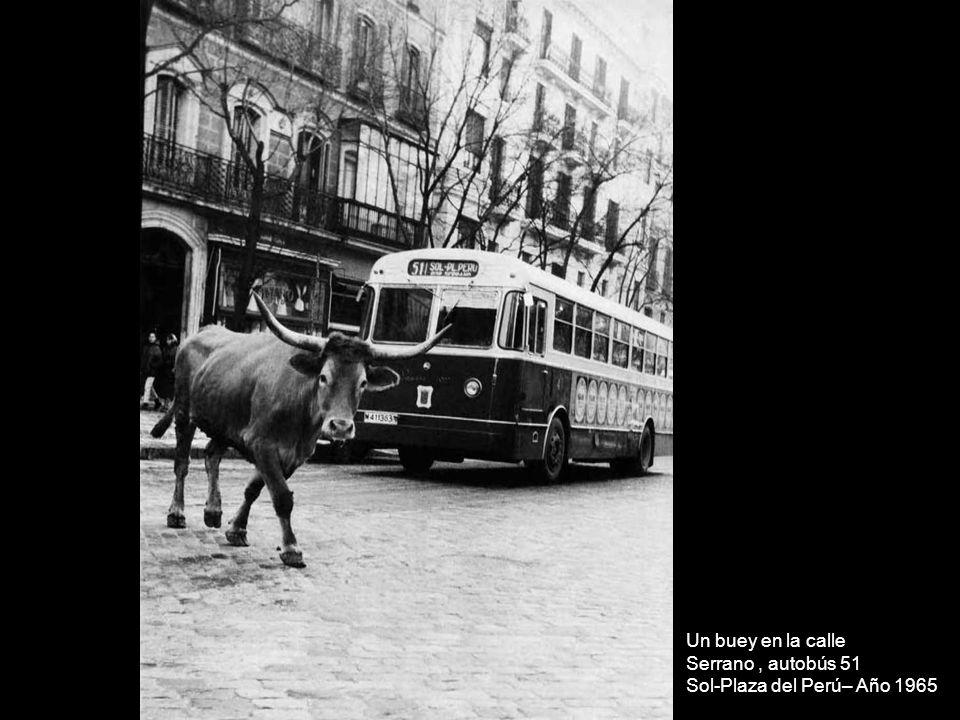 Un buey en la calle Serrano , autobús 51 Sol-Plaza del Perú– Año 1965