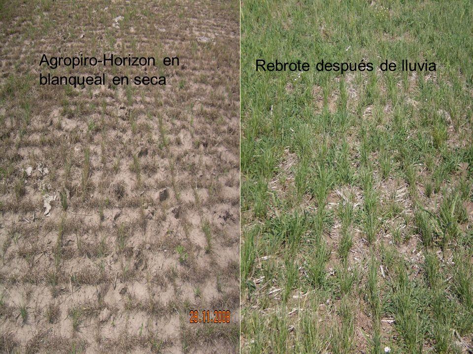 Agropiro-Horizon en blanqueal en seca Rebrote después de lluvia