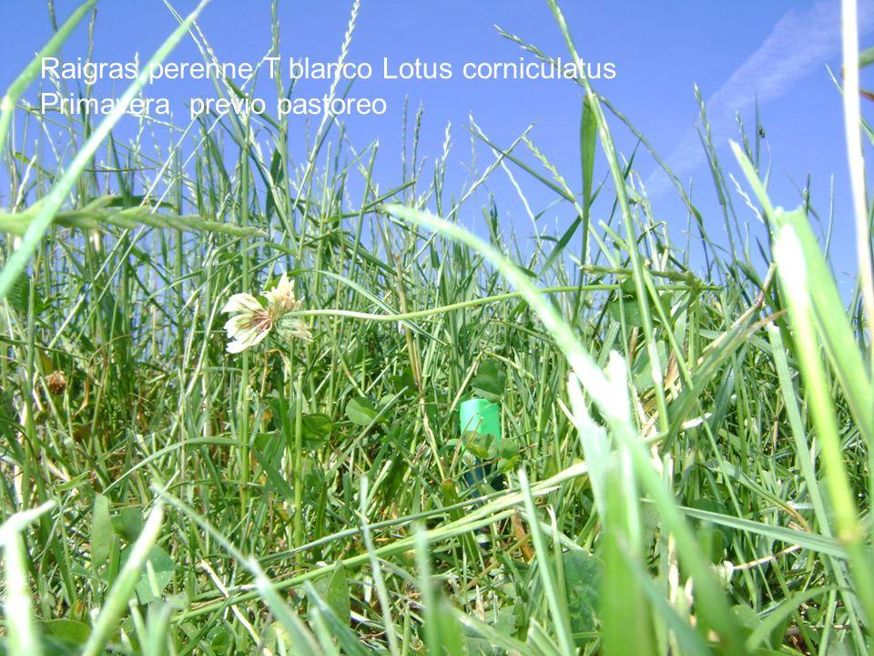 Raigras perenne T blanco Lotus corniculatus